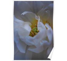 White Tulip/Pls view full image Poster