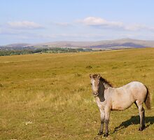 Dartmoor: Pony on Gibbet Hill by Rob Parsons