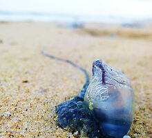 Bluebottle by martyj