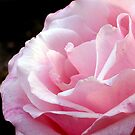 Pink Rose by Luke and Katie Thurlby