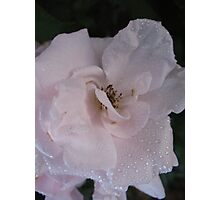 A slip of a Rose Photographic Print