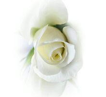 beautiful white rose on white background by Nicole W.