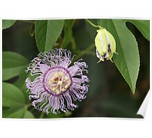Purple Passionflower and Bud Poster