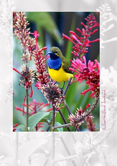 Yellow Bellied Sunbird by Holly Kempe
