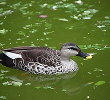 Gadwall by Indrani Ghose