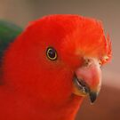 Australian King Parrot by Malcolm Katon
