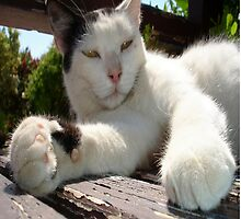 Black and White Bicolor Cat Lounging on A Park Bench by taiche