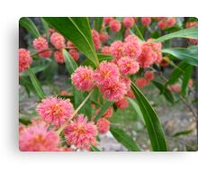 Red wattle Canvas Print