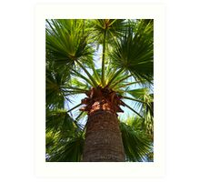 California Fan Palm Tree  Art Print