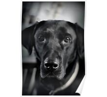 Black and Lab Poster