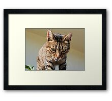Tabby Cat Looking Down From A Height Framed Print