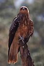 Whistling Kite by Jason Asher