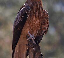 Whistling Kite by Jason Asher
