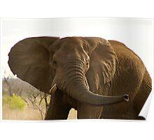 Elephant at Kruger Parc Poster