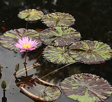 Waterlily with Tiger-striped Leaves by ElyseFradkin