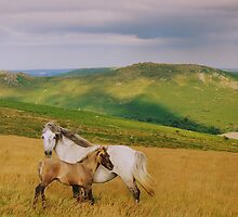 Dartmoor: Ponies on Hameldown by Rob Parsons