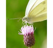 The butterfly and thistle Photographic Print