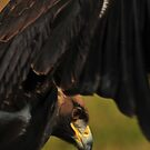 Eagle in Flight by Donna Ridgway