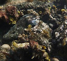Giant Australian Cuttlefish camouflage - Black Point, Whyalla by Dan & Emma Monceaux