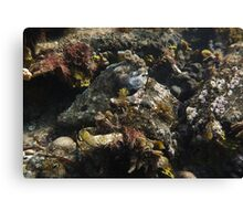Giant Australian Cuttlefish camouflage - Black Point, Whyalla Canvas Print