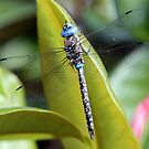 Blue-Eyed Darner Perched on Magnolia Leaf by Wolf Read