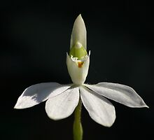 White Caladenia Orchid by Erland Howden
