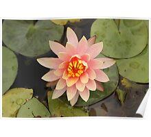 Peach Glow Waterlily Poster