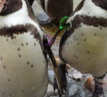Humboldt Penguin Gang Sticker