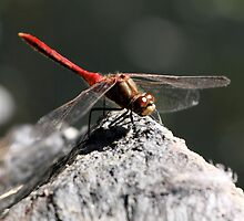Striped Meadowhawk on Rock by Wolf Read