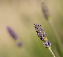 Lavender Blue by Mabs