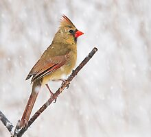 female cardinal 7  2010 by RosiesPhotos