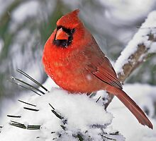 male cardinal 11  2010 by RosiesPhotos