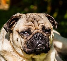 Frankie the pug chillin' by chirs1990