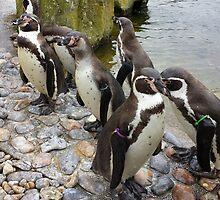 Humboldt Penguin Peeking by loubylou2209