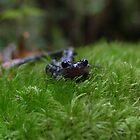 salamander by Jimmy Haslam