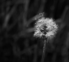 Dramatic High Contrast Black and White Dandelion and Seeds Spotlit by Sunlight by jocelynsart