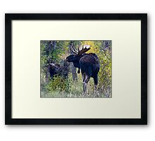 Moose Bull & Calf, Fall Colors Framed Print
