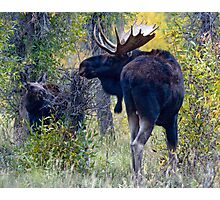 Moose Bull & Calf, Fall Colors Photographic Print