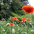 Poppies by TomNelson
