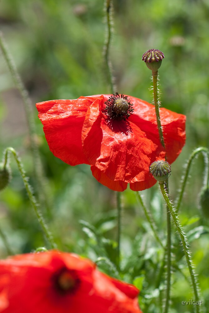 Red poppies by evilcat