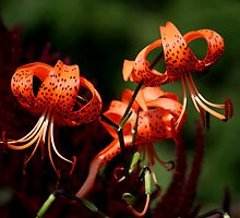 Orange Lilies by Larry Trupp