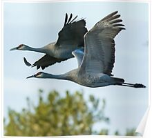 Sandhill Cranes in Flight Poster