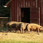 4 Pigs Went to the Market....   by BCallahan