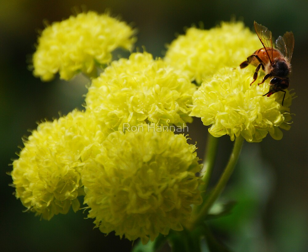 Pollination by Ron Hannah