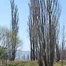 Poplars by the Coolaburragundy River Coolah NSW by Julie Sherlock