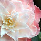 Star Camellia by Rachael Taylor