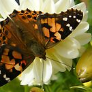 Bonnie Butterfly by pat oubridge