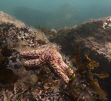 Seastar (Uniophora Granifera) - Port Noarlunga, South Australia by Dan & Emma Monceaux