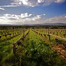 What's old is new again - non-irrigated old vines at Yarra Yerring by Gayan Benedict