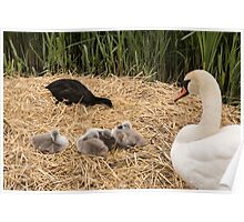 Swan and Cygnets Poster